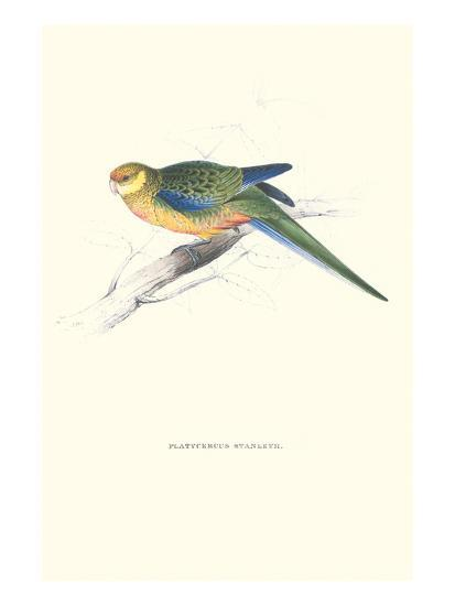 Stanley Parakeet Young Male - Platycercus Icterotis-Edward Lear-Art Print