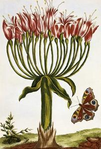 18th Century French Print of La Brunswick and Butterfly by Stapleton Collection