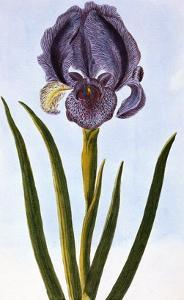 18th Century French Print of Mourning Iris by Stapleton Collection