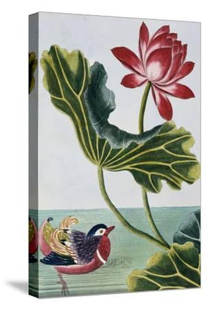 18th Century French Print of Red Water Lily of China II.