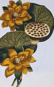 18th Century French Print of Waterlily by Stapleton Collection