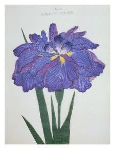 Kamiyo-No Mukashi Book of a Blue and Purple Iris by Stapleton Collection