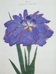 Kamiyo-No Mukashi Book of a Blue and Purple Iris by Stapleton Collection