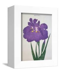 Kyo-Nishiki Book of a Purple Iris by Stapleton Collection