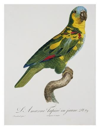Print of an Amazon Parrot by Jacques Barraband
