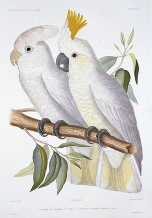 Print of Two Cockatoos by A. Dumenil