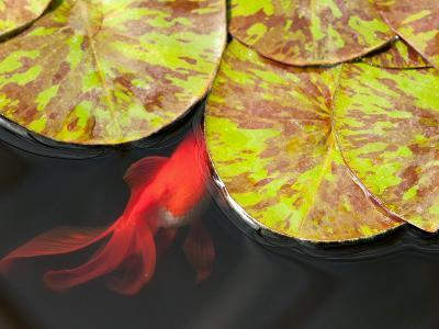 Star of Siam Water Lily Leaves, Nymphaea Species, and Goldfish-Darlyne A^ Murawski-Photographic Print
