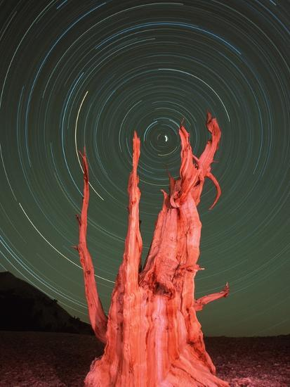 Star Trails and Bristlecone Pine Tree-Frank Lukasseck-Photographic Print