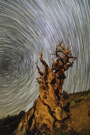 Star Trails around the North Celestial Pole Above a Bristlecone Pine Tree in California-Babak Tafreshi-Photographic Print