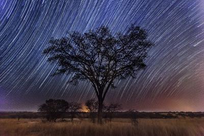 Star Trails Light the Sky Above an Acacia Tree-Matthew Hood-Photographic Print