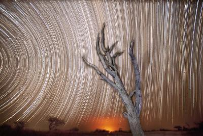Star Trails Light Up the Sky Above a Lone Acacia Tree-Matthew Hood-Photographic Print