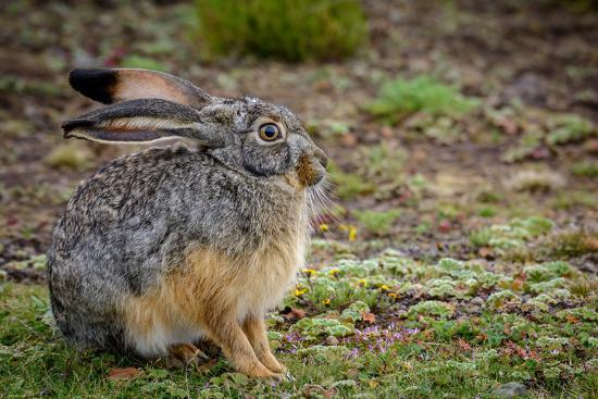 Starck's Hare, Lepus starcki. Bale Mountains National Park. Ethiopia.-Roger De La Harpe-Premium Photographic Print