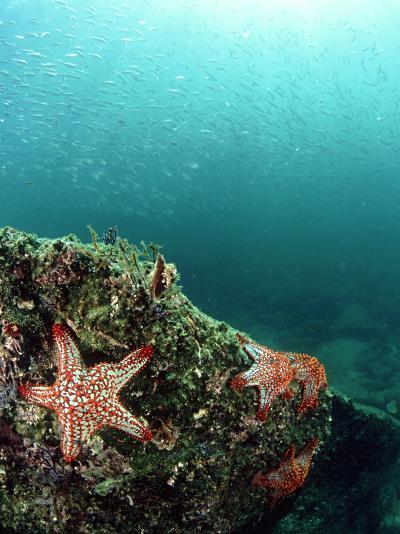 Starfish, and Sardine Panorama, Mexico-Tobias Bernhard-Photographic Print