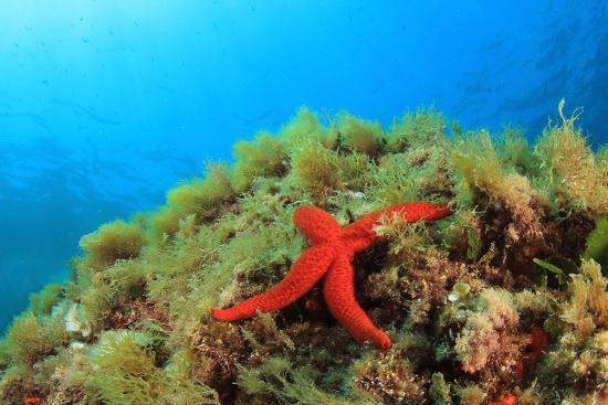 Starfish Underwater on Reef-Rich Carey-Photographic Print