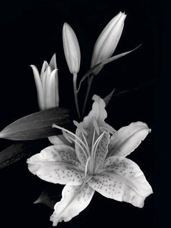 Stargazer Lily Study Photographic Print By Anna Miller Art