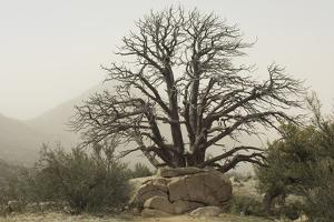 Stark Branches of a Dead Juniper in the Organ Mountains, Southern New Mexico