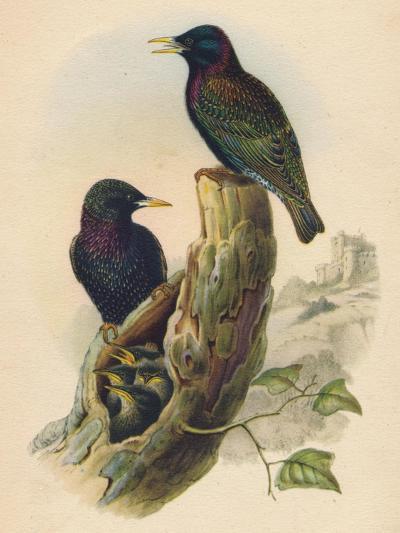 Starling, c19th century--Giclee Print