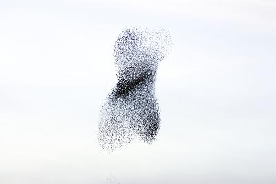 Starling Flock and Peregrine Falcon--Photographic Print