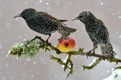 Starlings (Sturnus Vulgaris), Adults Perched on Branch in Winter Feeding on Apple-Michel Poinsignon-Photographic Print