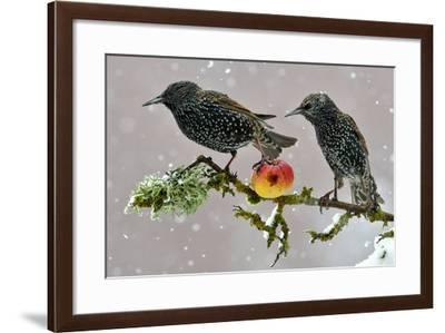 Starlings (Sturnus Vulgaris), Adults Perched on Branch in Winter Feeding on Apple-Michel Poinsignon-Framed Photographic Print