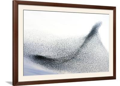 Starlings--Framed Photographic Print