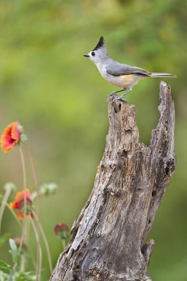 Starr County, Texas. Black Crested Titmouse Perched-Larry Ditto-Photographic Print