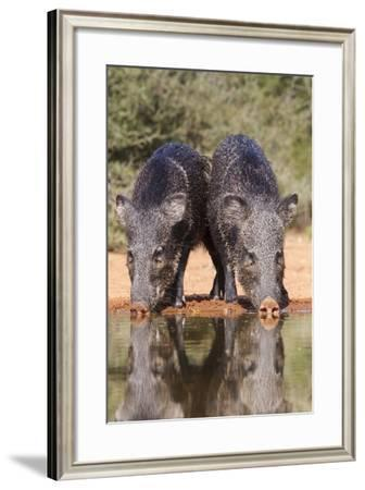 Starr County, Texas. Collared Peccary Family in Thorn Brush Habitat-Larry Ditto-Framed Photographic Print