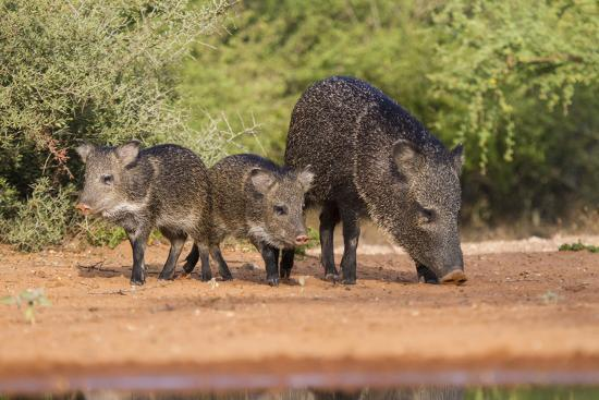 Starr County, Texas. Collared Peccary Family in Thorn Brush Habitat-Larry Ditto-Photographic Print