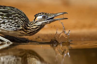 Starr County, Texas. Greater Roadrunner Drinking at Pond-Larry Ditto-Photographic Print