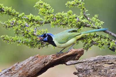 Starr County, Texas. Green Jay, Cyanocorax Yncas, Eating Acorn-Larry Ditto-Photographic Print