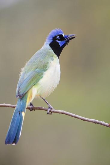 Starr County, Texas. Green Jay Threat Display to Other Jays-Larry Ditto-Photographic Print