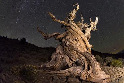 Stars Above an Old Twisted Bristlecone Pine in California-Babak Tafreshi-Photographic Print