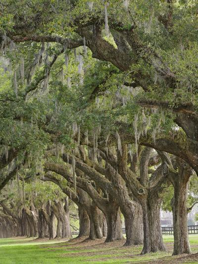 Stately Live Oak Trees Draped in Spanish Moss, Boone Hall Plantation, Mount Pleasant-Adam Jones-Photographic Print