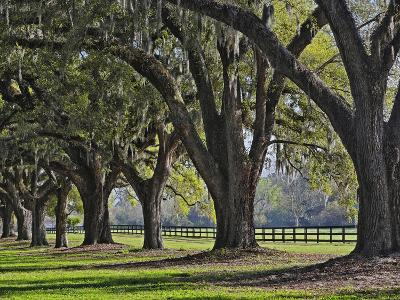 Stately Live Oak Trees Draped in Spanish Moss, Boone Hall Plantation-Adam Jones-Photographic Print
