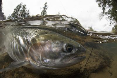 Steelhead Trout, Oncorhynchus Mykiss, in the North Umpqua River-Paul Colangelo-Photographic Print