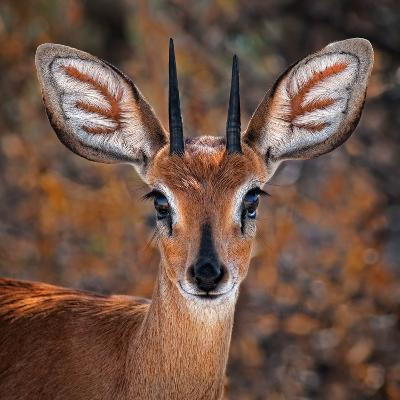 Steenbok, One of the Smallest Antelope in the World-Mathilde Guillemot-Photographic Print
