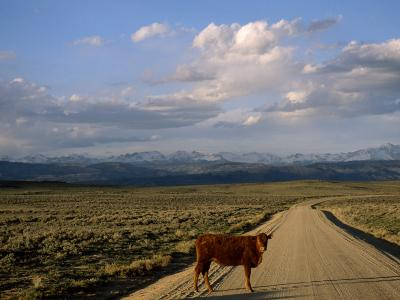 Steer on a Dirt Road, Pinedale, Wyoming-Joel Sartore-Photographic Print