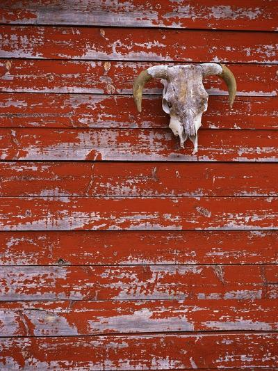Steer Skull Hanging on a Barn Wall-Stuart Westmorland-Photographic Print