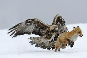 Golden Eagle (Aquila Chrysaetos) Adult Defending Carcass from Red Fox (Vulpes Vulpes), Bulgaria by Stefan Huwiler