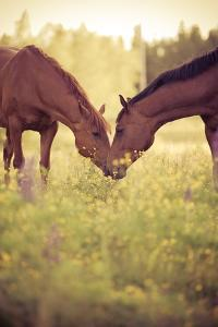 Two Horses in Field by Stefan Sager