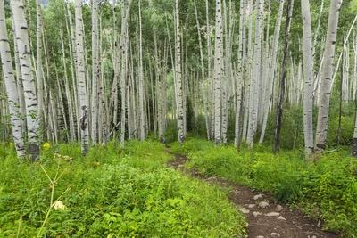 Hiking in the Aspen Trees Forest on the Trail to the American Lake.