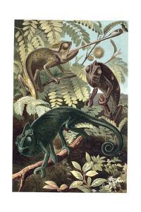 Chameleons or Chamaeleons by Alfred Edmund Brehm by Stefano Bianchetti
