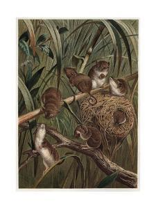 Eurasian Harvest Mouse by Alfred Edmund Brehm by Stefano Bianchetti