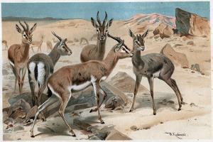 Gazelle by Alfred Edmund Brehm by Stefano Bianchetti