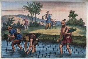Rice Plantation by Stefano Bianchetti
