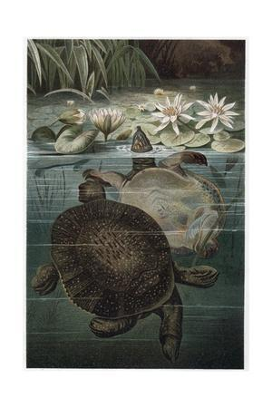 Soft Shelled Turtle by Alfred Edmund Brehm