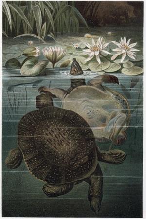 Soft Shelled Turtle by Alfred Edmund Brehm by Stefano Bianchetti