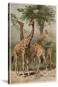 The Giraffe by Alfred Edmund Brehm by Stefano Bianchetti