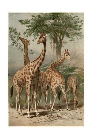 The Giraffe by Alfred Edmund Brehm