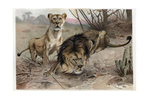 The Lion by Alfred Edmund Brehm by Stefano Bianchetti
